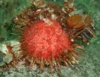 Sterechinus neumayeri 2